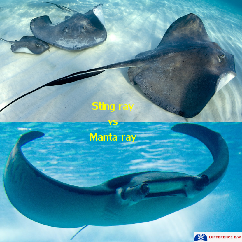 sting-ray-vs-manta-ray